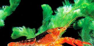 ¡Insólito! Hallan cangrejo que tiene la capacidad de clonarse.