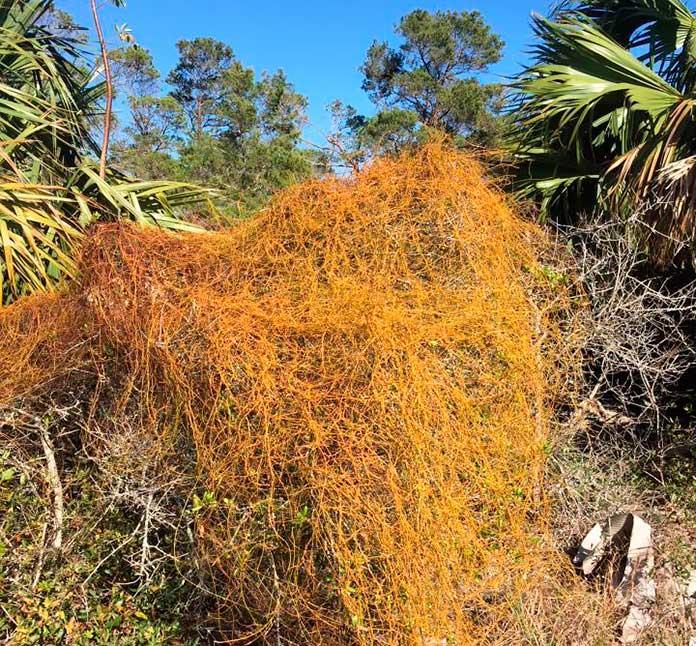 Planta que convierte a las avispas en momias.