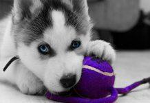 Cachorro de Husky