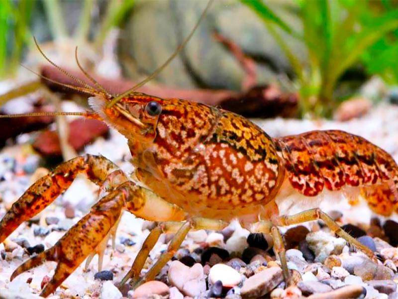 El cangrejo de mármol: Una especie mutante que surgió hace 25 años.