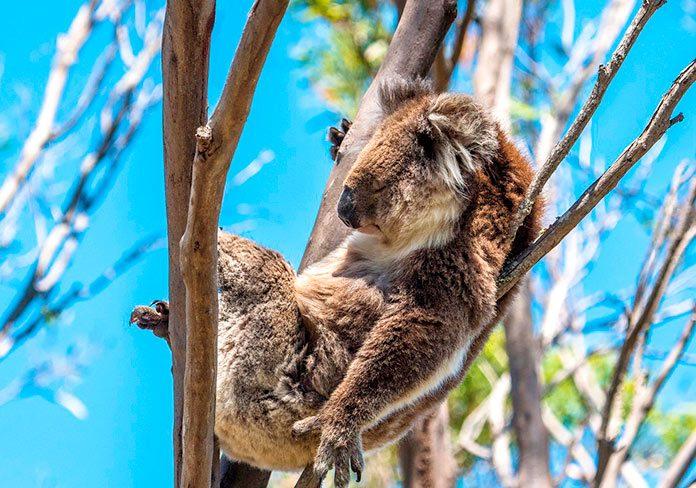 ¿Por qué los koalas duermen más de 20 horas al día?