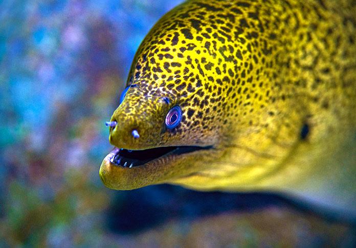 oler debajo del agua: anguilas