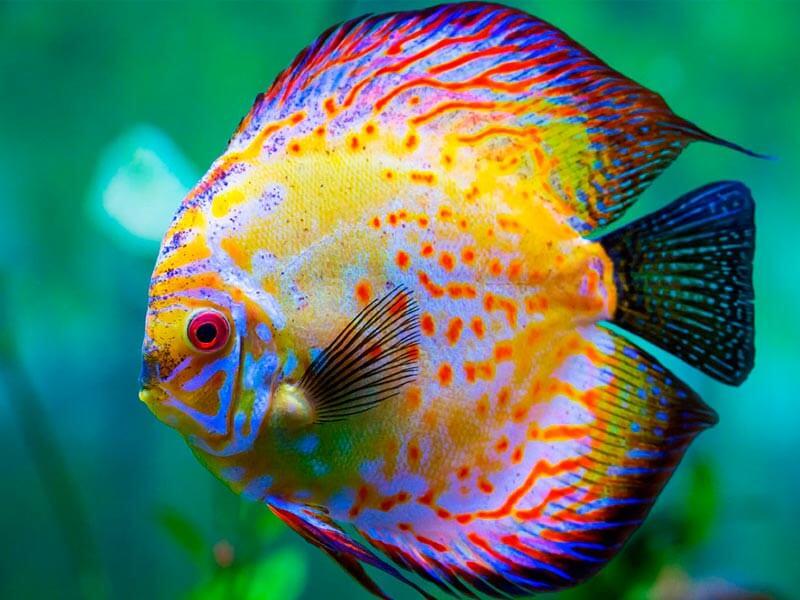 Peces disco los m s hermosos de agua dulce flipa for Jaulas para cria de peces