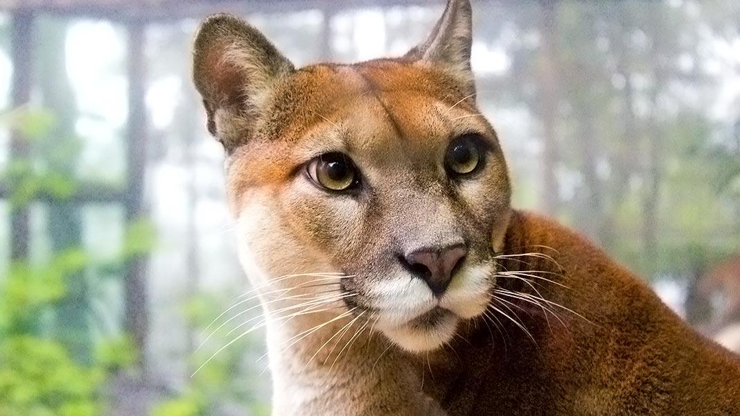 El puma: así es uno de los felinos más grandes del mundo