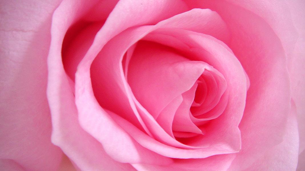 Curiosidades históricas de las rosas que seguro no sabías