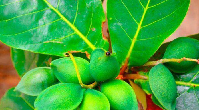 Hoja y semillas de terminalia catappa