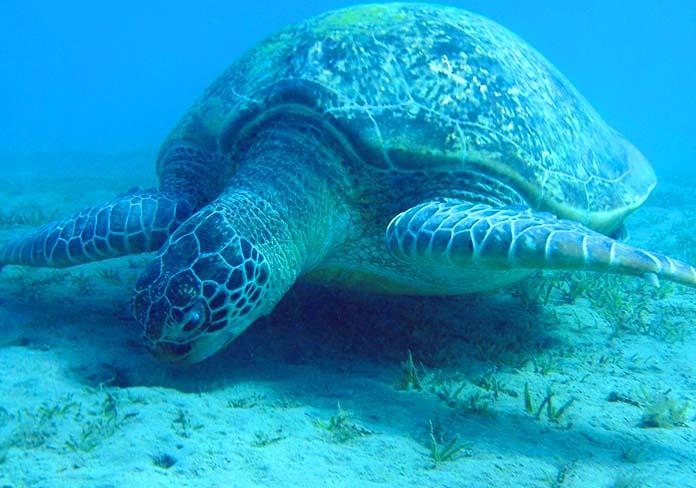 Longevidad de las tortugas marinas